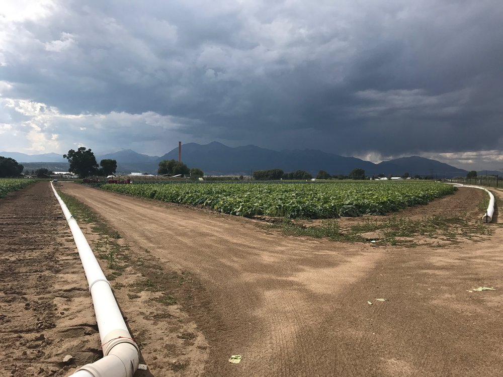 Acorn squash field at Colorado Farm to Table, Salida, CO.