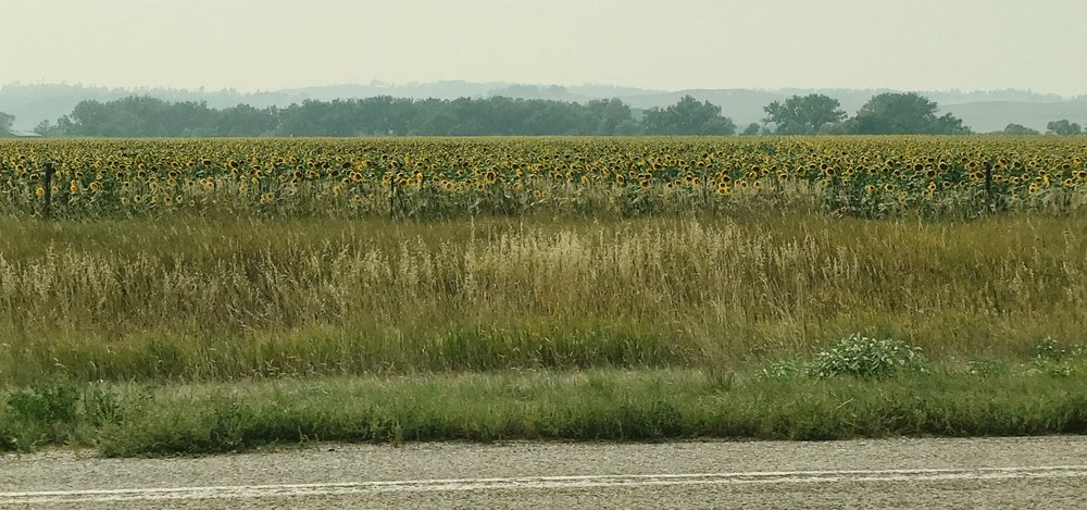 Roadside sunflower field in Nebraska, under a smokey haze.