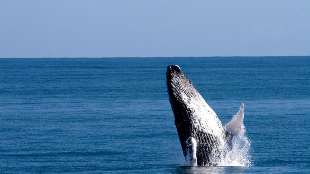 Humpback Whales near Samaná.png