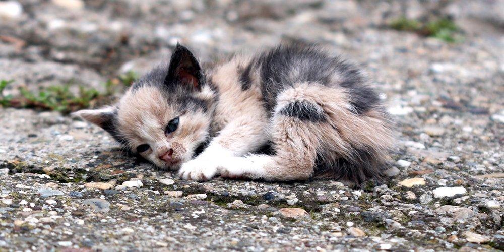 stray-and-feral-cat-program-adirondack-region-share-kitten-07202017.jpg