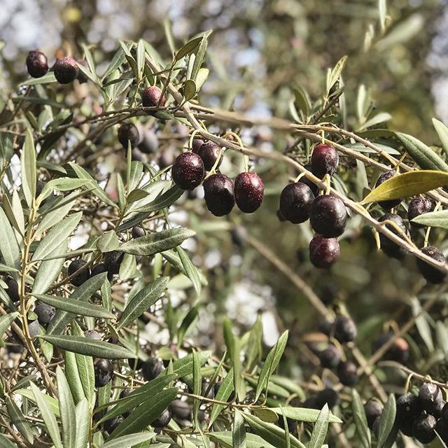 I embarked on a new adventure today: I have started getting my Courageous Living Coaching Certification. I'm excited. I'm terrified. And I'm pretty sure that just like these olives I'm about to be pressed in all the right ways to create something beautiful.  #lifecoach #newyear #newadventure
