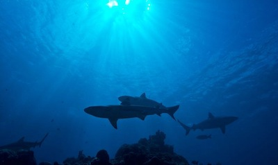 - SHARKS have survived 400 million years of evolution and5 mass extinction events.Man is wiping them out in mere decades.1/3 are threatened with extinction.100 million sharks are killed every year.73 million of them killed for fin soup.SHARK POPULATIONS HAVE DECLINED BY 90%