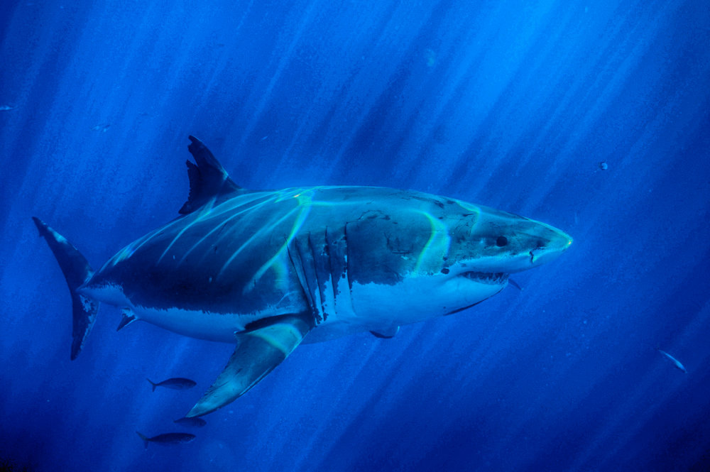 Learn about sharks - Find out interesting facts about sharks and why they are endangered.