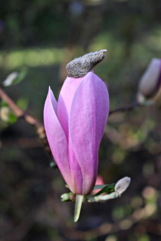 Magnolia21.jpg
