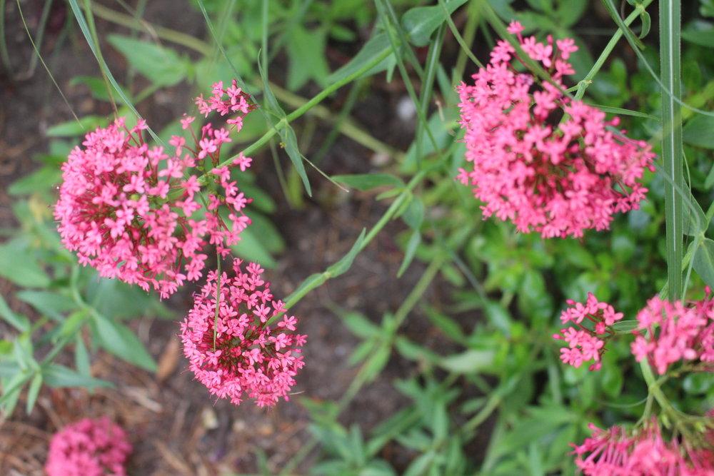 #78 Phlox,Polemoniaceae