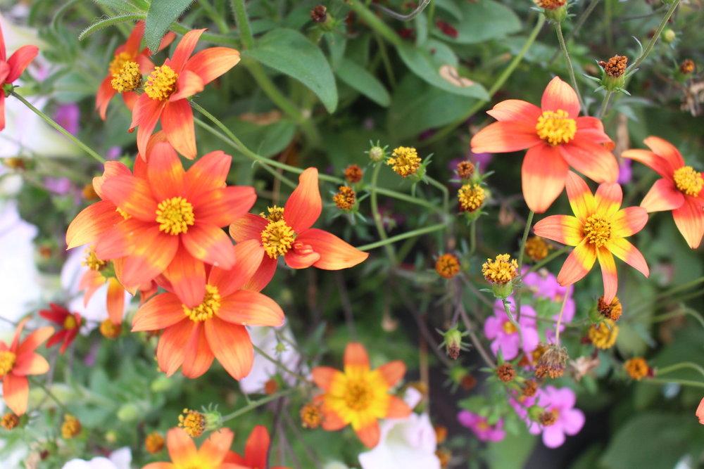 #79 Campfire Fireburst Biden,Asteraceae