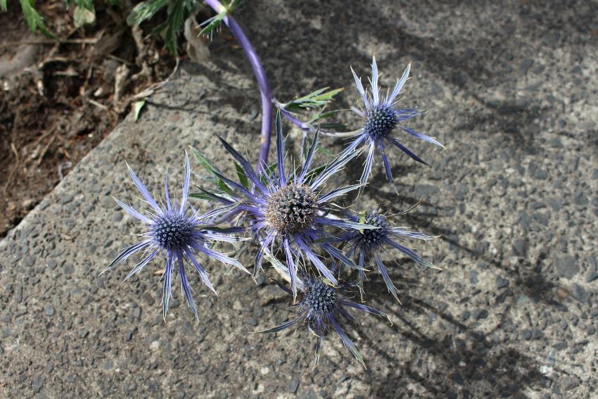 #84 Eryngium,Apiaceae
