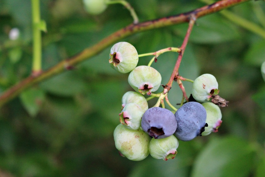 #25 Blueberries,  Cyanococcus
