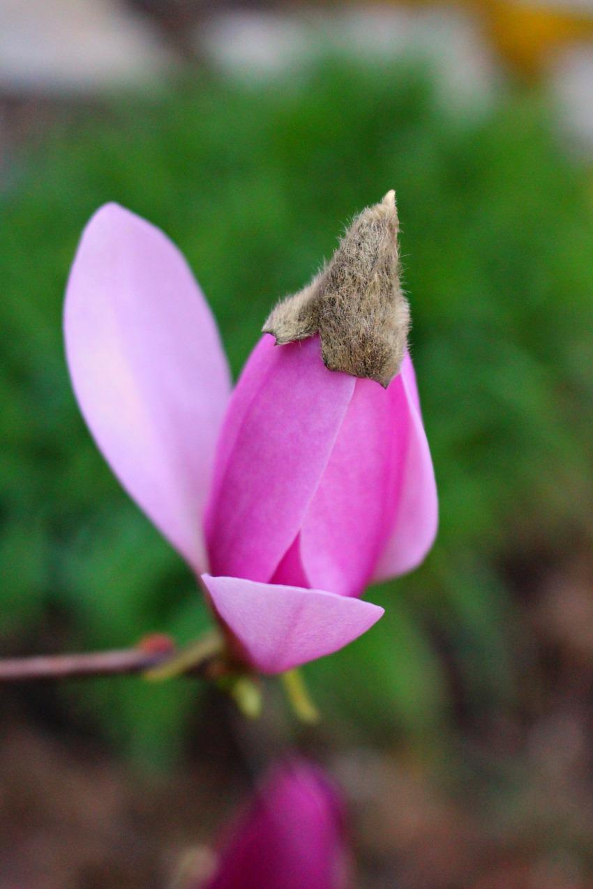 #29 Jane Magnolia, Magnolia liliiflora