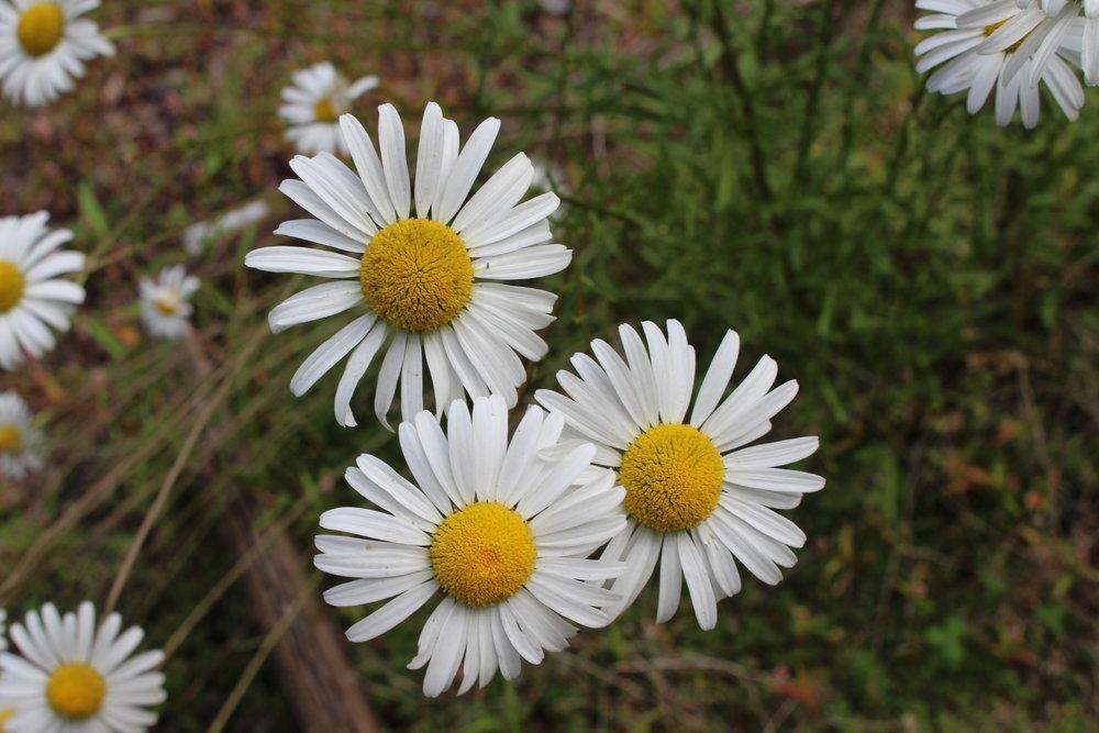#32 Shasta Daisy, Leucanthemum × superbum