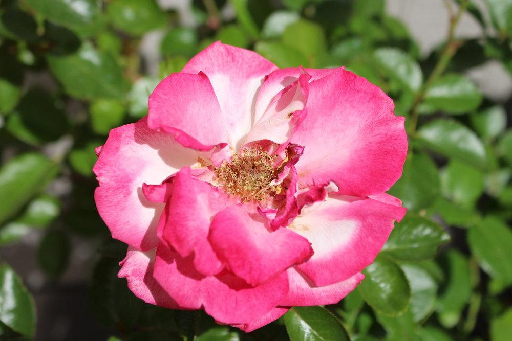 #34 Rose, Rosa
