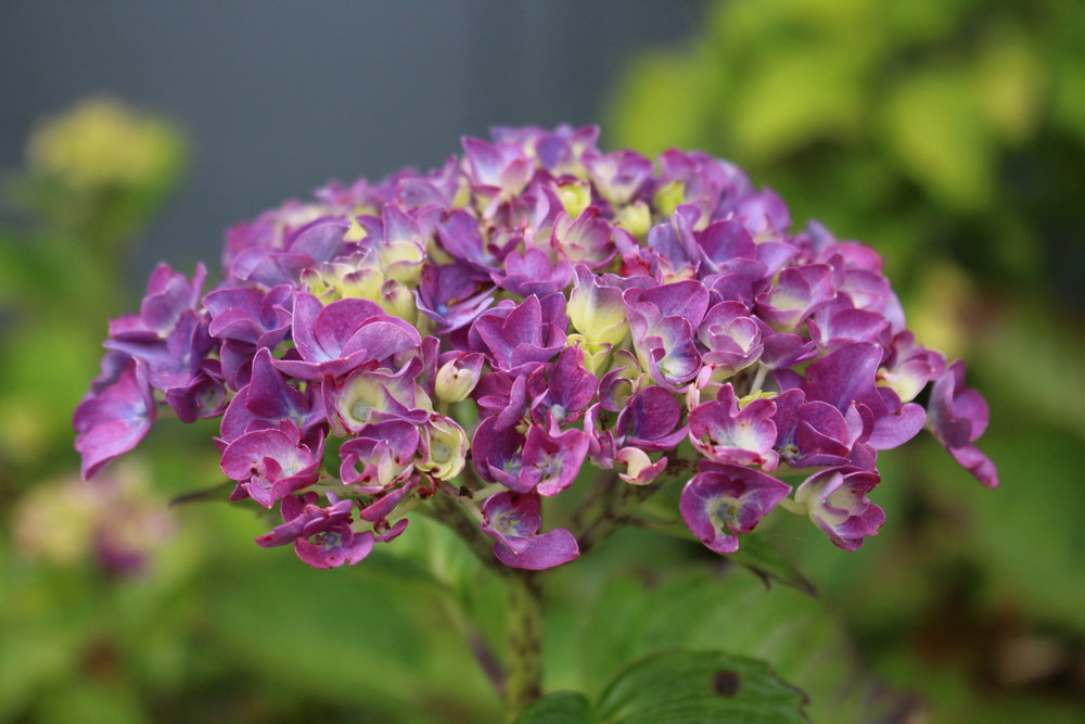 #63 Hydrangea, Hydrangea macrophylla