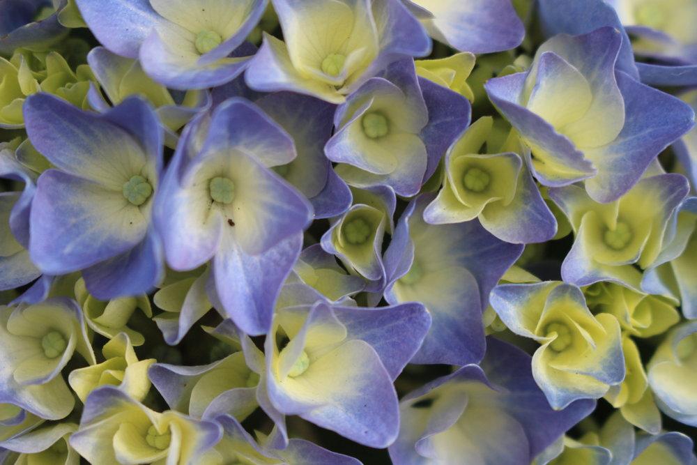 #64 Hydrangea,Hydrangea macrophylla