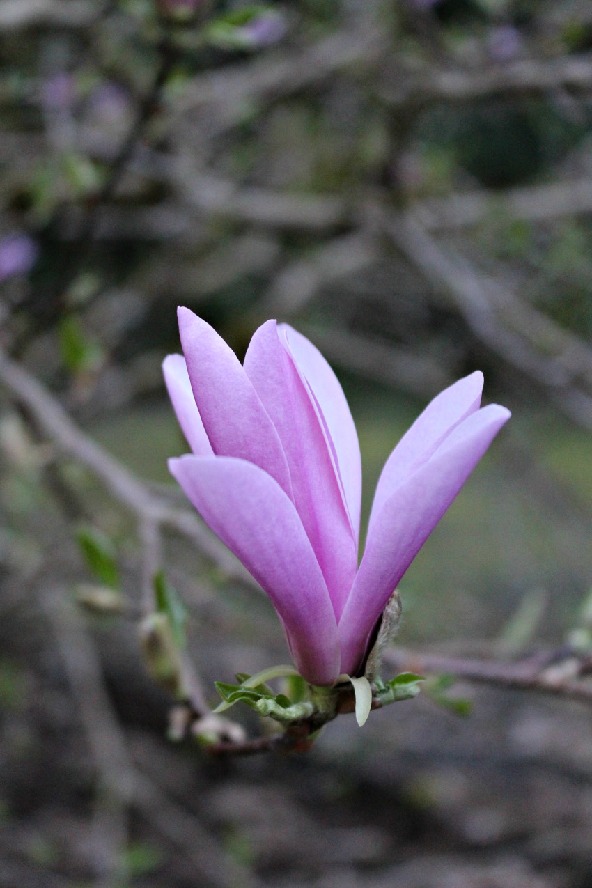 #66 Jane Magnolia,  Magnolia liliiflora