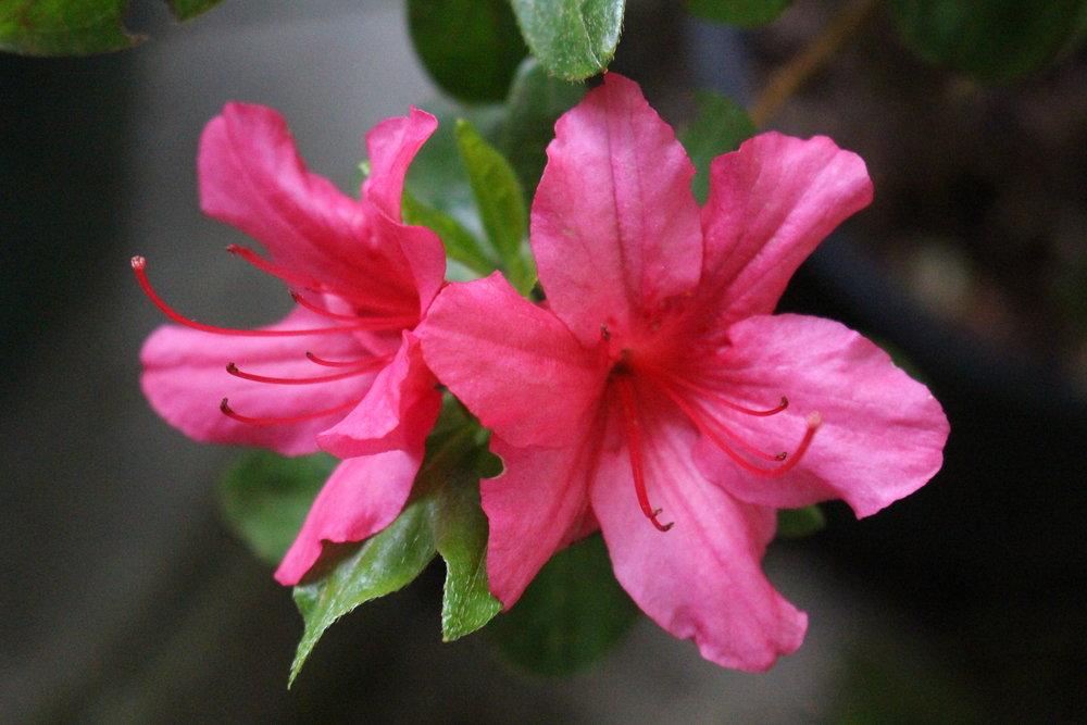 #71 Azalea, Rhododendron