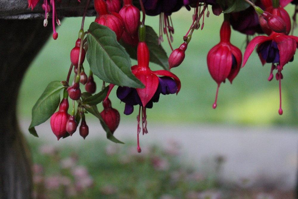 #52 Fuchsia, Fuchsia