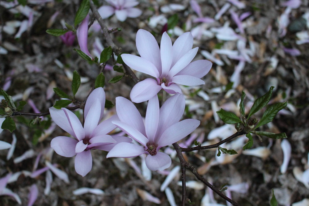 #53 Jane Magnolia, Magnolia liliiflora
