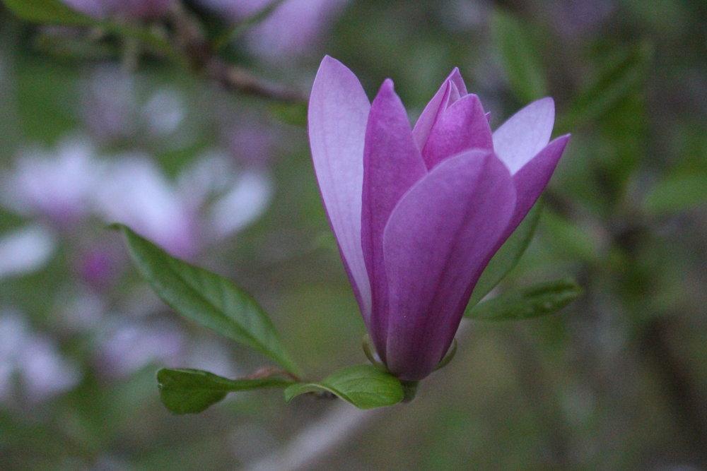 #54 Jane Magnolia, Magnolia liliiflora