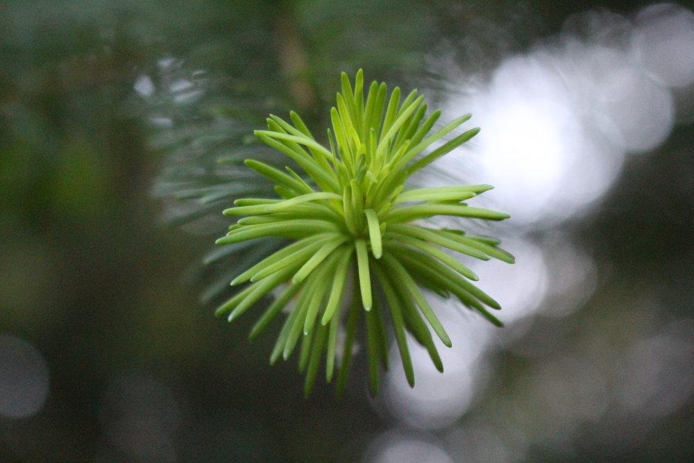 #59 Pine Tree,Pinus