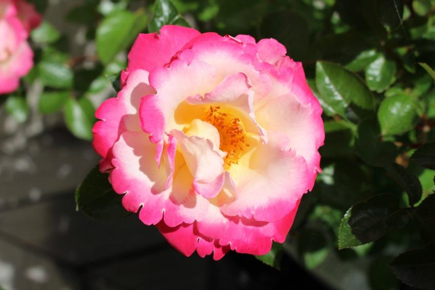 #15 Rose, Rosa