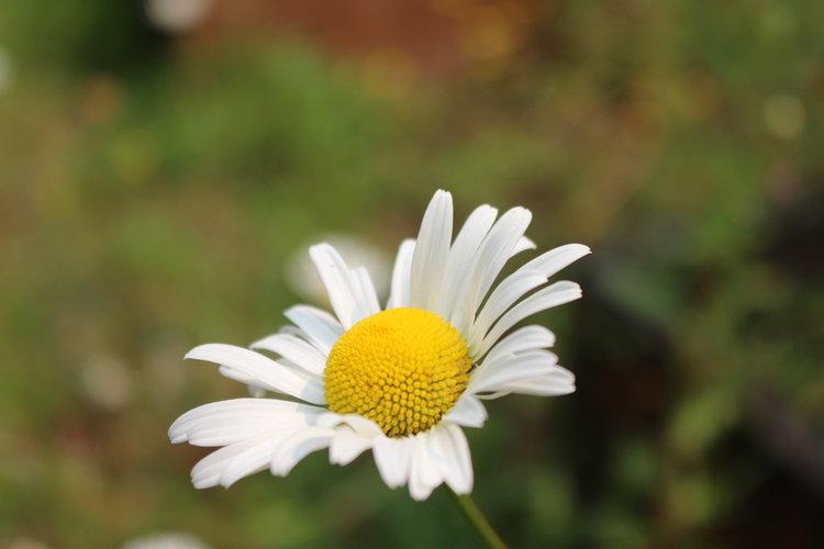 #88 Shasta Daisy, Leucanthemum × superbum