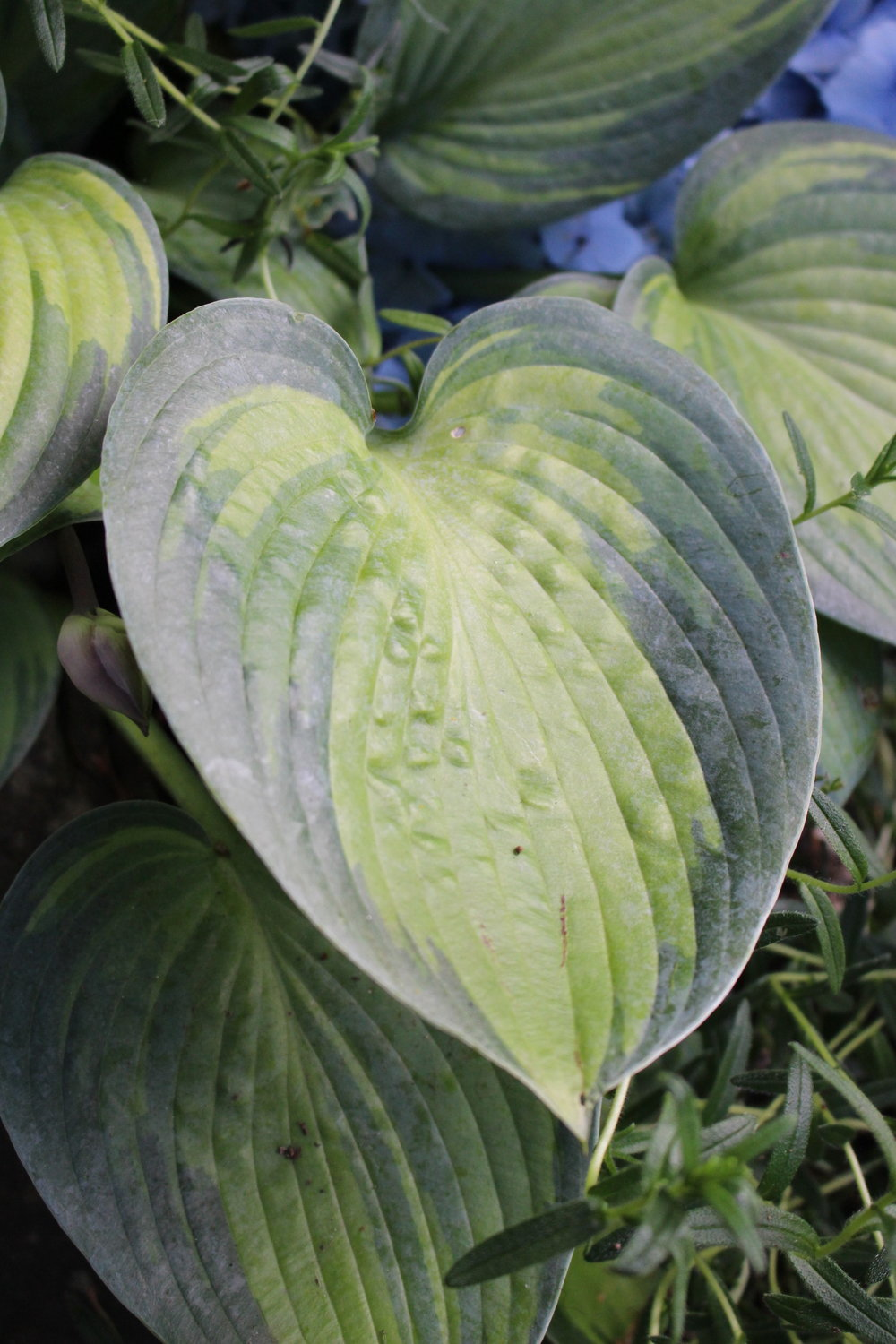 #102 Hosta Leaf,  Funkia