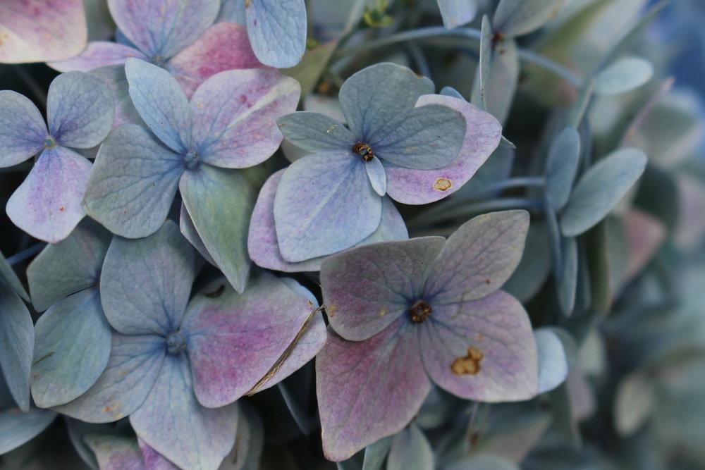 #104 Hydrangea,Hydrangea macrophylla
