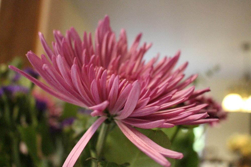 #117 Chrysanthemum, Chrysanthemumcoronarium