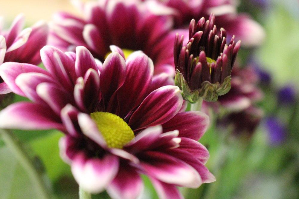 #109 Dahlia,Asteraceae