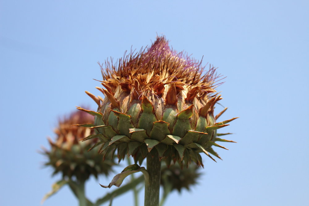 #128 Artichoke Flower,Cynara scolymus