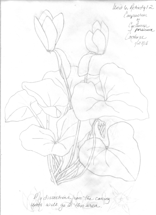 Unit 6, Cyclamen Composition Beginning for Unit 7.jpeg