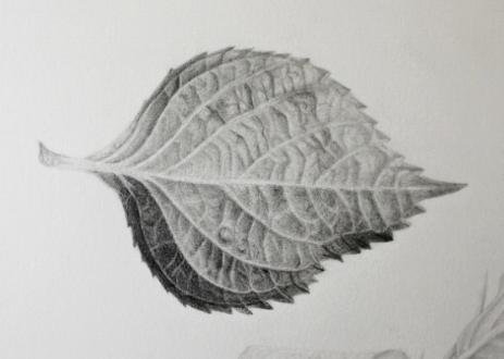 Hydrangea Leaf.jpeg