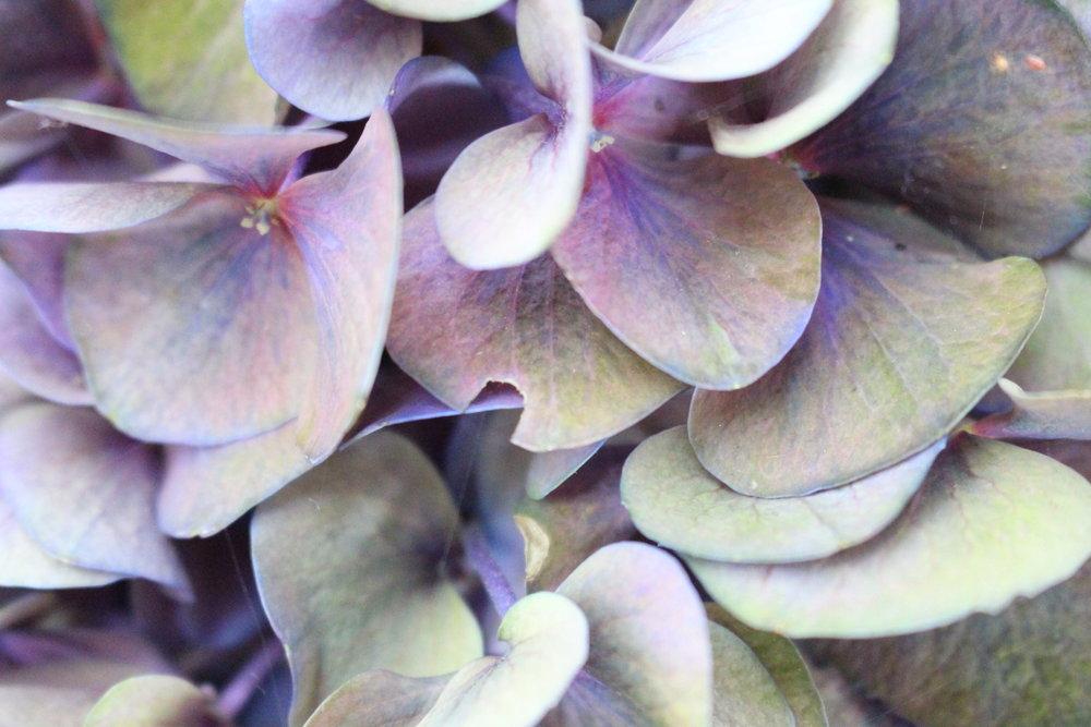 #133 Hydrangea, Hydrangea macrophylla
