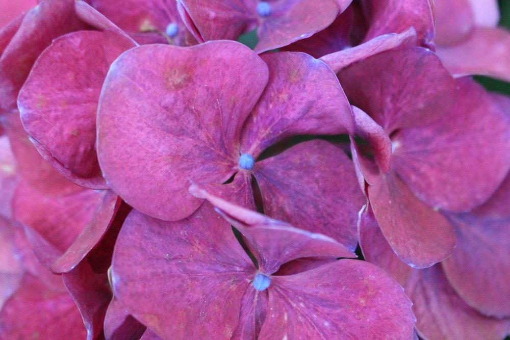 #134 Hydrangea, Hydrangea macrophylla