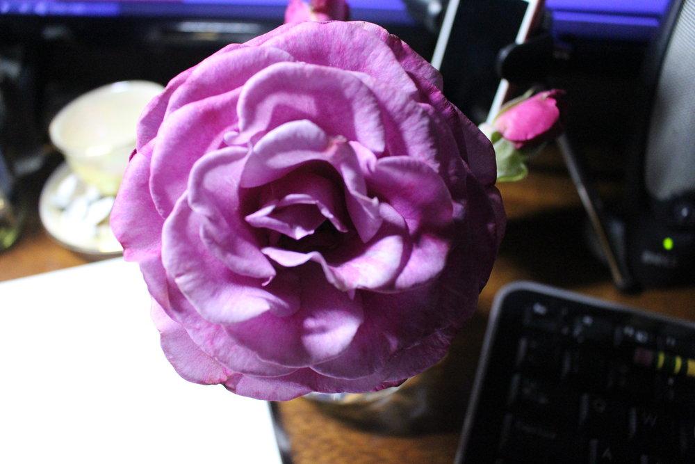 #135 Rose,  Rosa
