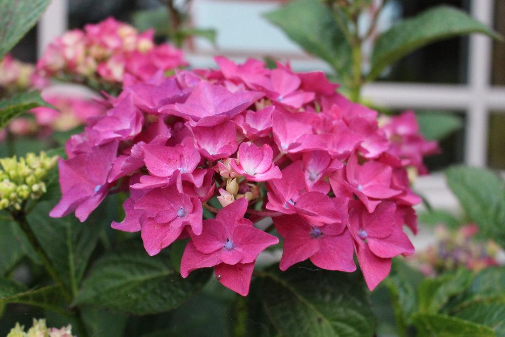 #144 Hydrangea, Hydrangea macrophylla