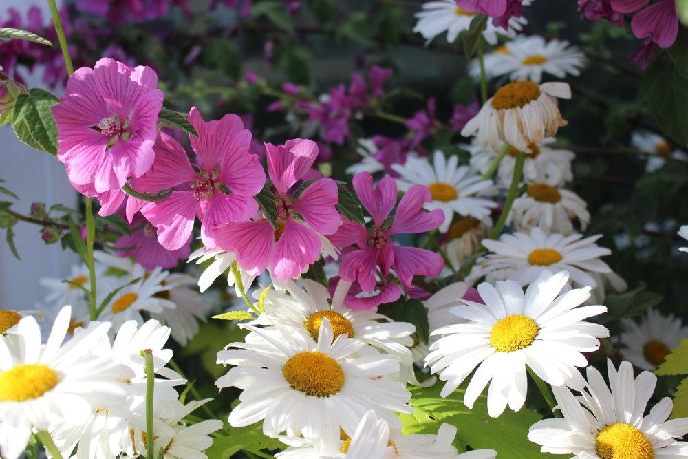 #149 Shasta Daisy,  Leucanthemum × superbum