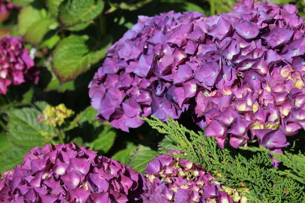 #151 Hydrangea, Hydrangea macrophylla