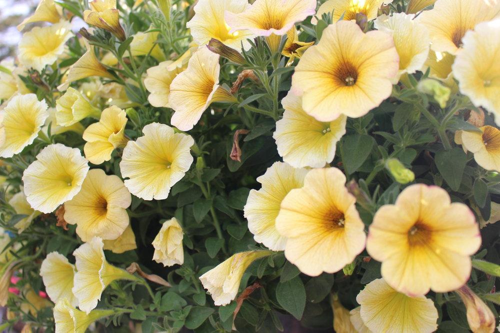 #154 Petunia, Petunia integrifolia