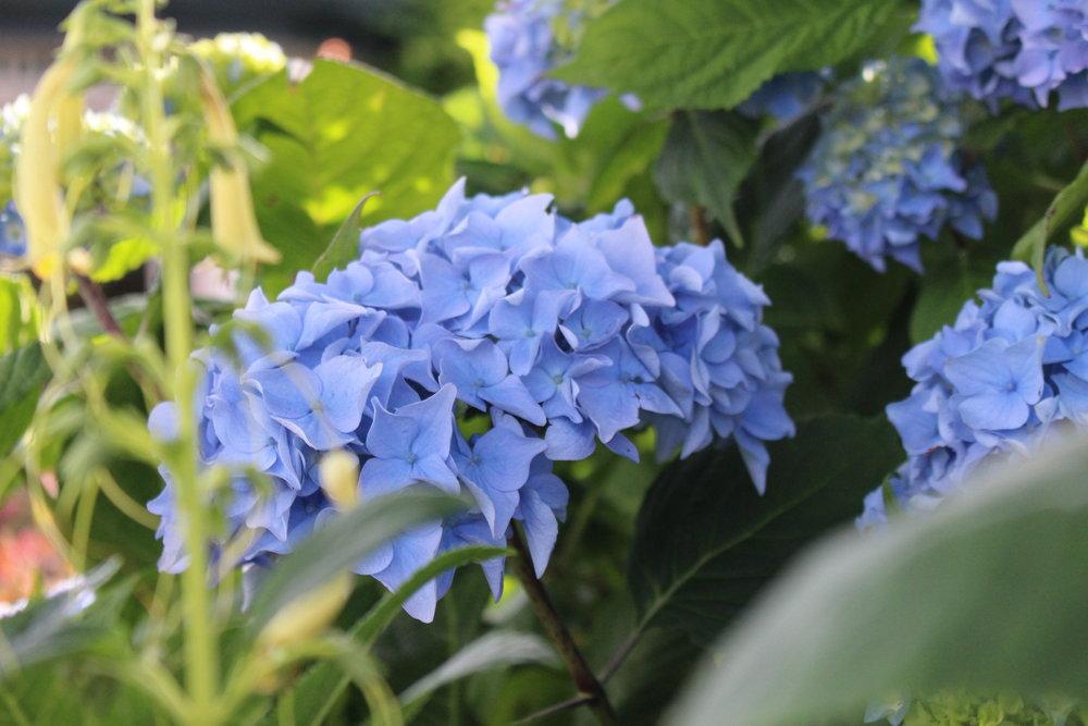 #155 Hydrangea, Hydrangea macrophylla