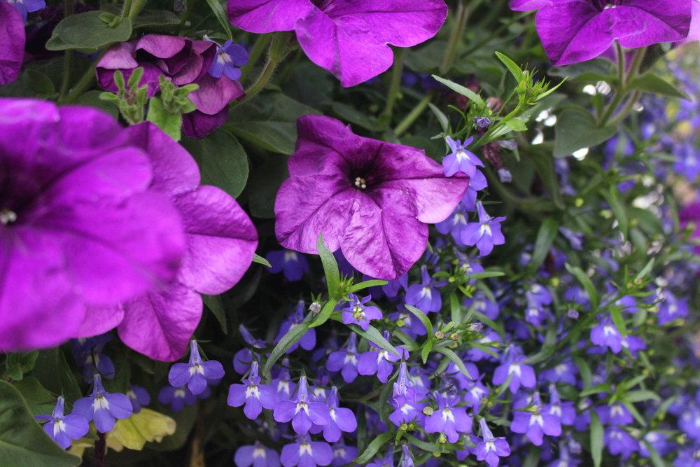 #161 Petunia,  Petunia integrifolia