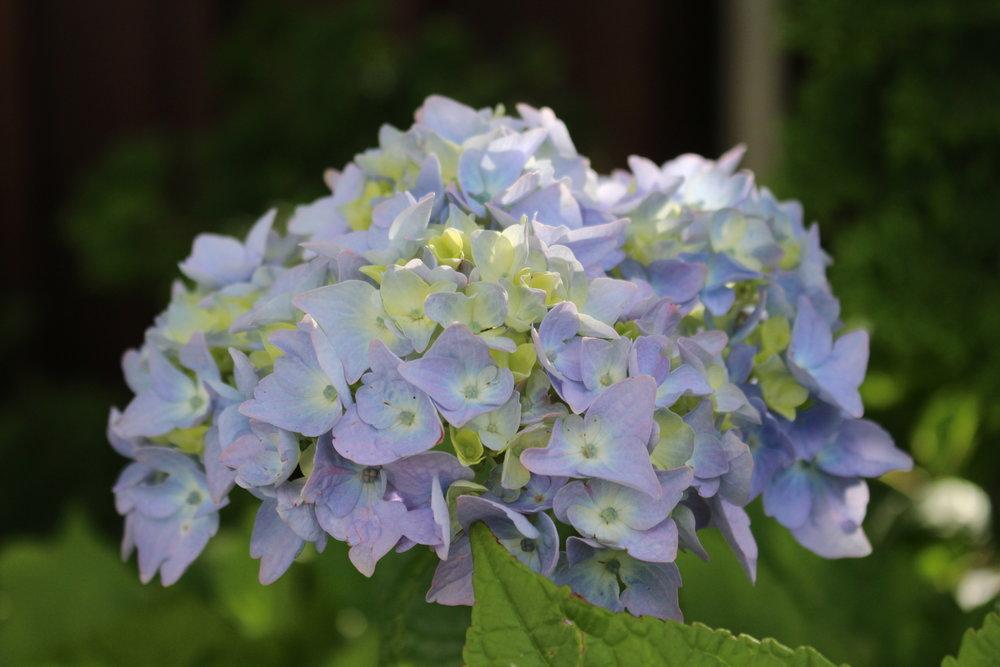 #163 Hydrangea, Hydrangea macrophylla