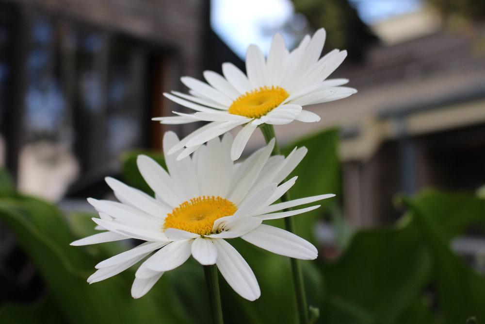 #164 Shasta Daisy,  Leucanthemum × superbum