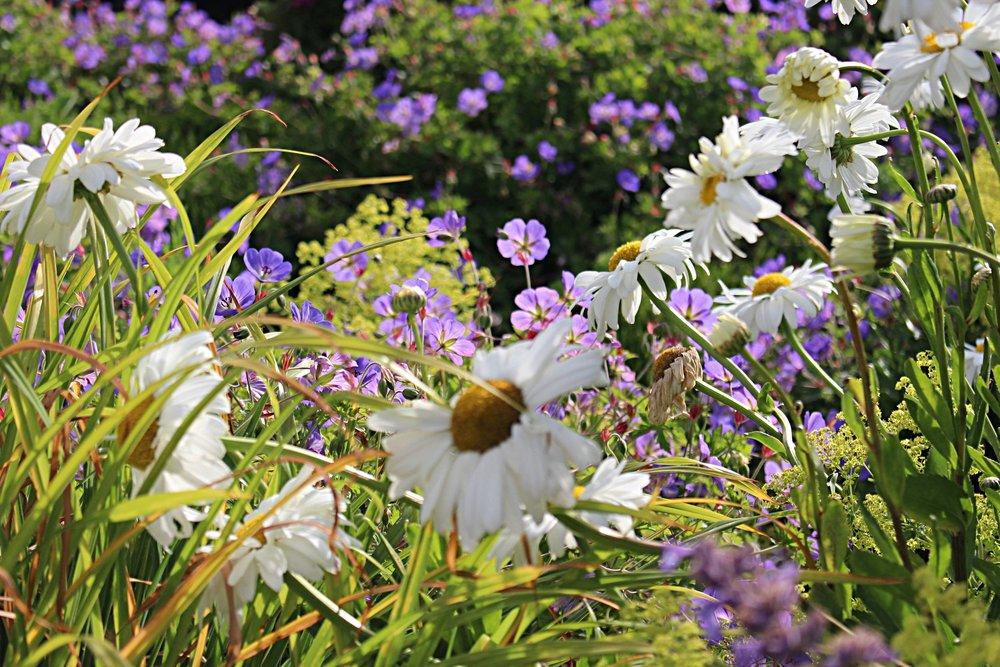 #160 Shasta Daisy,  Leucanthemum × superbum