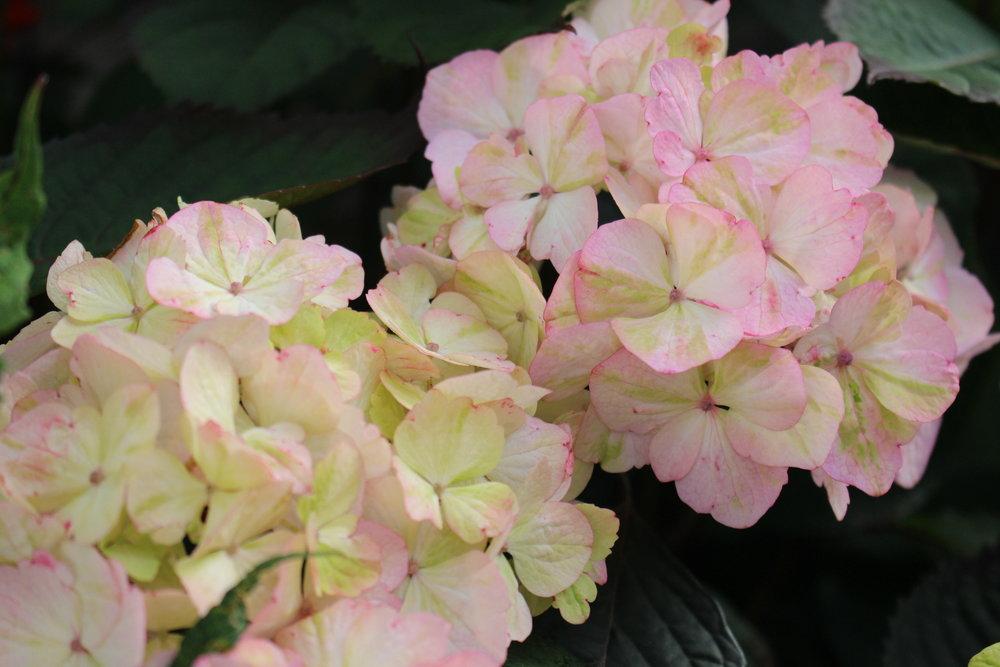 #167 Hydrangea, Hydrangea macrophylla