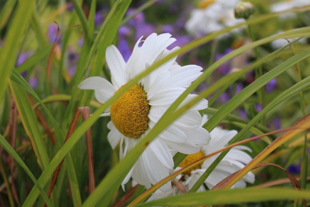 #169 Shasta Daisy,  Leucanthemum × superbum