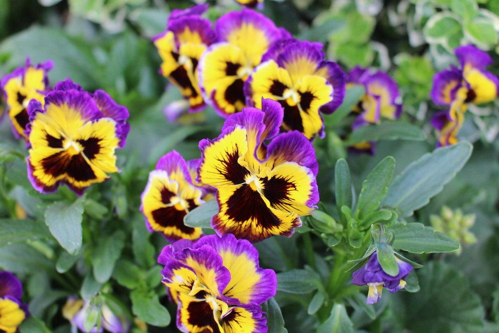 #174 Pansie,  Viola tricolor var. hortensis