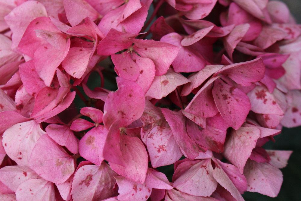#175 Hydrangea, Hydrangea macrophylla