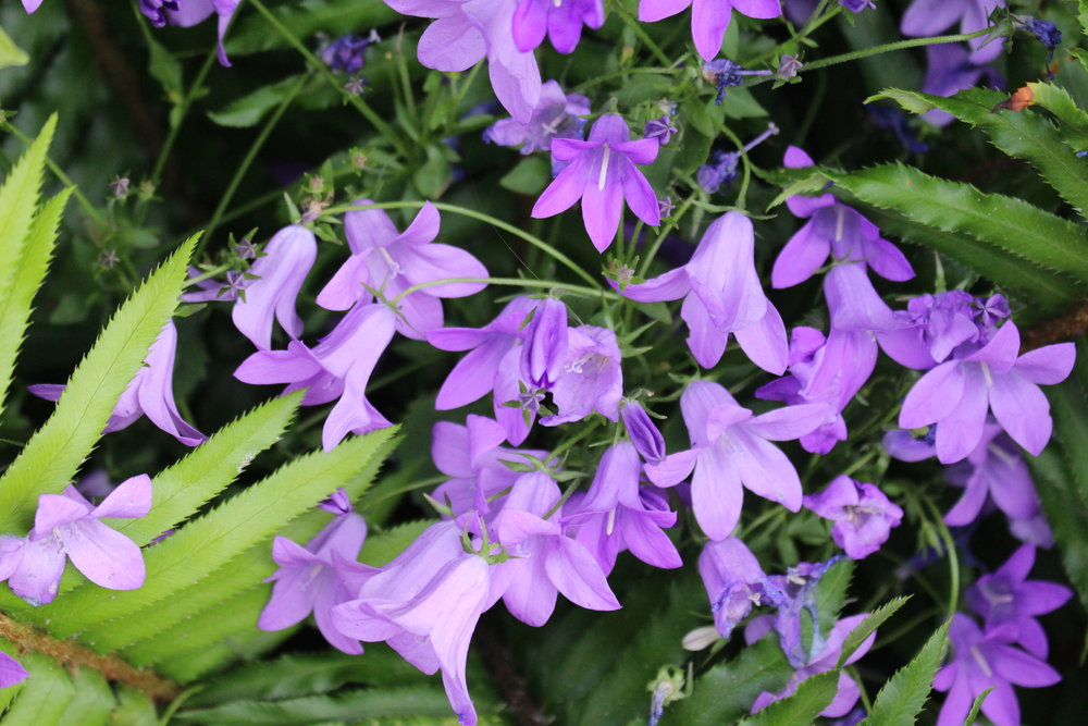 #177 Blue Bells, Campanula rotundifolia