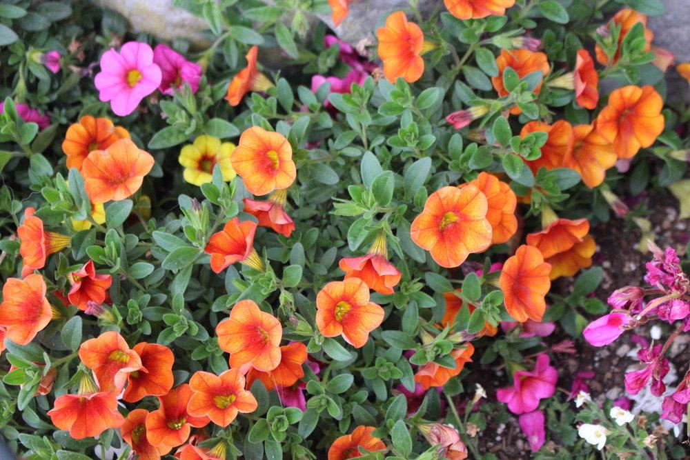 #178 Petunia, Petunia integrifolia